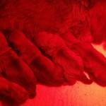 Ruwharige Teckel pups Fleur